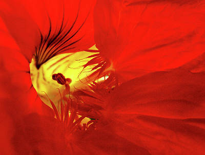 Photograph - Nasturtium Two by Nancy Griswold