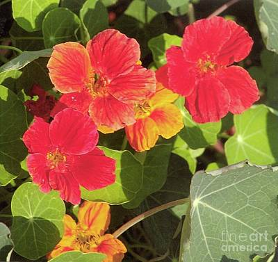 Photograph - Nasturtiums - Peppery Flavor by Rod Ismay