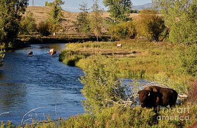 Photograph - National Bison Range by Cindy Murphy - NightVisions