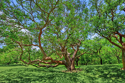 Art Print featuring the photograph National Champion Gumbo Limbo Tree  -  Championgumbolimbotree135360 by Frank J Benz