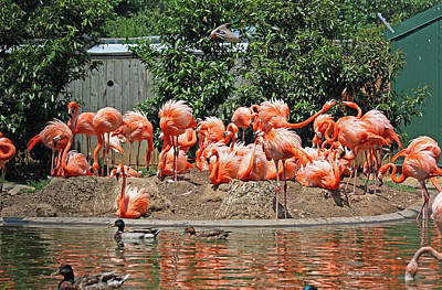 Featured Tapestry Designs - National Zoo - Pink Flamingos - in a Bunch by Ronald Reid