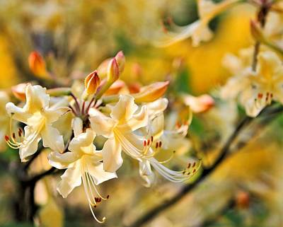 Photograph - Native Azalea by Katherine White