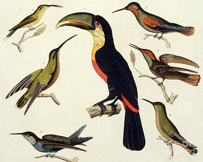 Toucan Drawing - Native Birds, Including The Toucan From The Amazon, Brazil by V Raineri