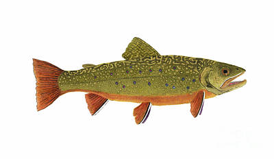 Painting - Native Brook Trout by Thom Glace