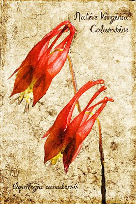 Thomas Jefferson Digital Art - Native Virginia Columbine by Teresa Mucha