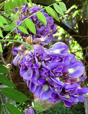Photograph - Native Wisteria Vine II by Angela Annas