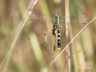 Dragonflies Photograph - Natural Canvas With Dragonfly by Carol Groenen