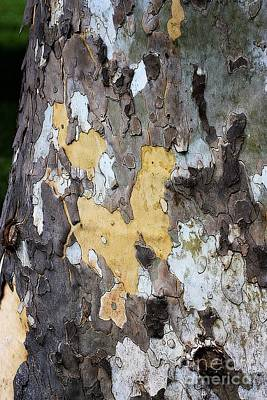 American Sycamore Photograph - Natural Mosaic by Patti Whitten