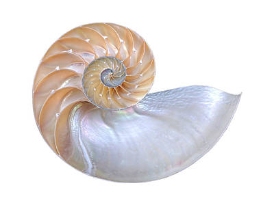 Photograph - Natural Nautilus Seashell On White by Gill Billington