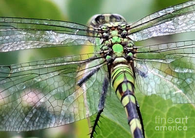 Dragonfly Wings Photograph - Natural Stained Glass by Carol Groenen
