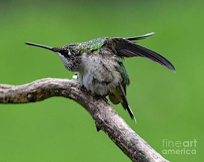 Michael Jackson - Naturally Aggressive - Ruby-throated Hummingbird by Cindy Treger