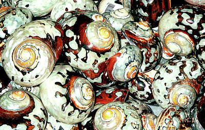 Photograph - Naturally-colored Seashells - Florida Keys Exhibit by Merton Allen