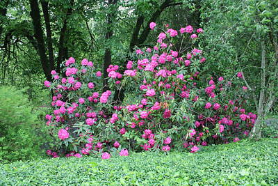 Photograph - Naturally Framed Pink Rhododendron Shrub by Carol Groenen