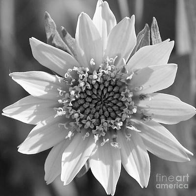 Colored Pencils - Nature Black and White - Balsamroot by Carol Groenen