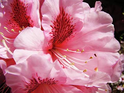 Nature Floral Art Prints Pink Rhodies Flowers Baslee Troutman Art Print by Baslee Troutman