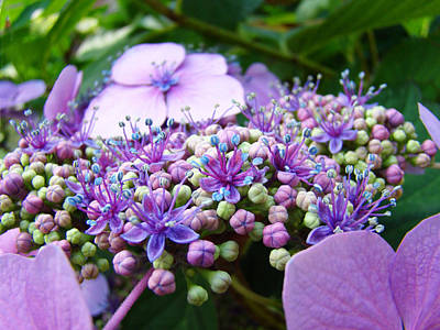Nature Floral Art Prints Purple Hydrangea Flowers Baslee Troutman Art Print by Baslee Troutman