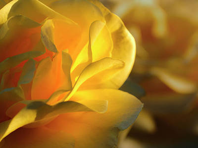 Nature - Flower, Amber Rose 2 Original