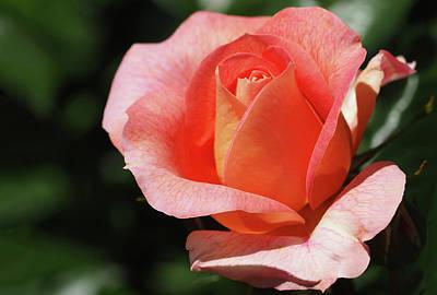 Nature - Flower Pink Rose - Tango Original