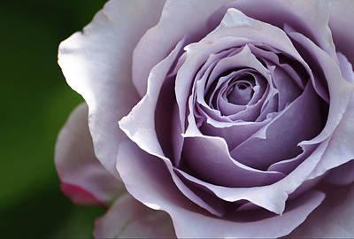 Nature - Flower Purple Rose - Crowns Original