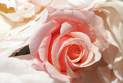 Nature - Flower White Rose - Waltz Original by Arthur Babiarz