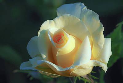 Nature - Flower, Yellow Rose 5 Original