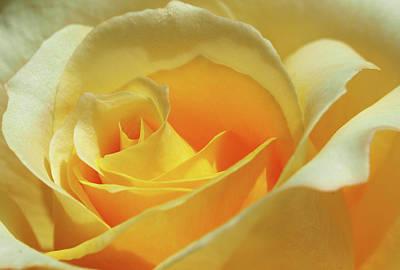 Nature - Flower Yellow Rose - Swirl Original