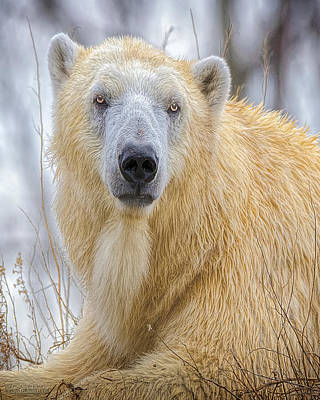 Photograph - Nature Wear Polar Bear by LeeAnn McLaneGoetz McLaneGoetzStudioLLCcom