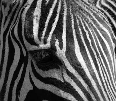 Black And White Of Zebras Photograph - Nature's Bar Code by Karen Cook
