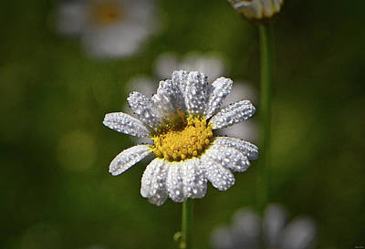 Photograph - Natures Crystal - Dew Covered Daisy 008 by George Bostian