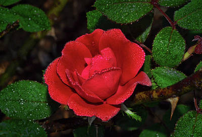Photograph - Natures Crystal - Red Rose 006 by George Bostian