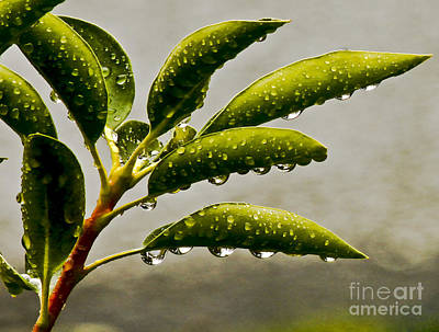 Early Morning Raindrops Art Print by Carol F Austin