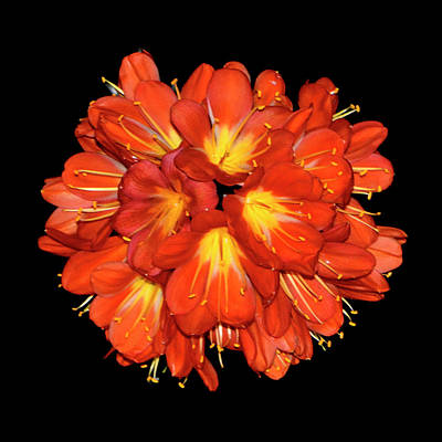 Photograph - Natures Fireworks - Kaffir Lily 006 by George Bostian