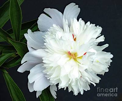 Louis Armstrong - Natures Perfection - Festiva Maxima Double White Peony by Cindy Treger
