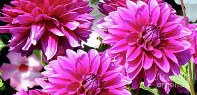 Photograph - Natures Perfume Dahlias Red Tones by Dave Nevue