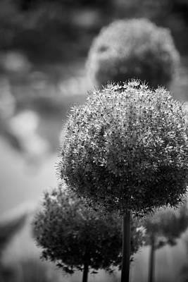 Photograph - Nature's Pom-poms by Graesen Arnoff