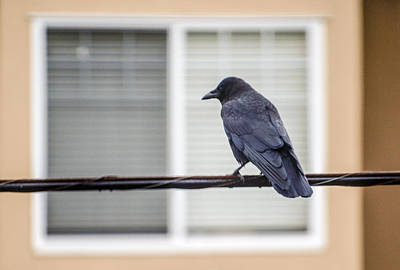 Nature - Crow On Wire Original