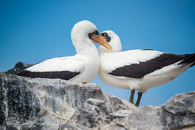Photograph - Nazca Booby Foreplay by Harry Strharsky