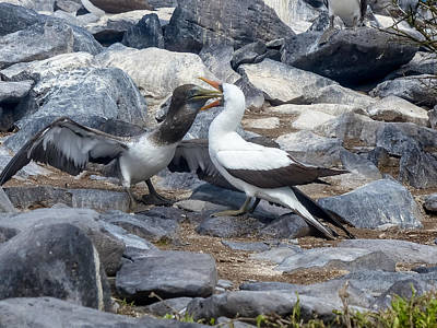 Photograph - Nazca Booby Mother Feeding Chick by Harry Strharsky