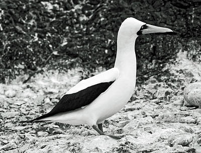 Photograph - Nazca Booby Side View by Sally Weigand