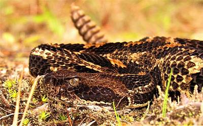 Photograph - Nc Timber Rattlesnake by Joshua Bales