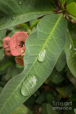 Photograph - Near Vertical Cluster Of Leaves With Two Large Water Drops In Asia. by Jason Rosette