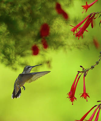 Photograph - Nearing The Nectar Jewels by William Jobes