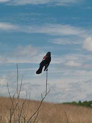 Art Print featuring the photograph Nebraska Red-winged Black Bird by Joshua House