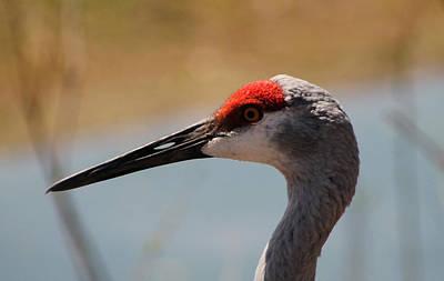 Photograph - Nebraska Sandhill Crane by Dennis Buckman