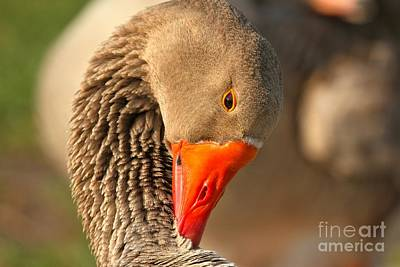 Photograph - Neck Cleaning by Adam Jewell