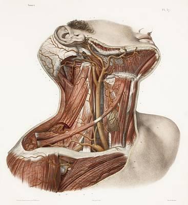 Pl Photograph - Neck Vascular Anatomy, Historical Artwork by