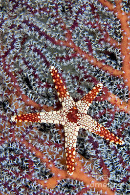 Coral Necklace Photograph - Necklace Seastar by Dave Fleetham - Printscapes