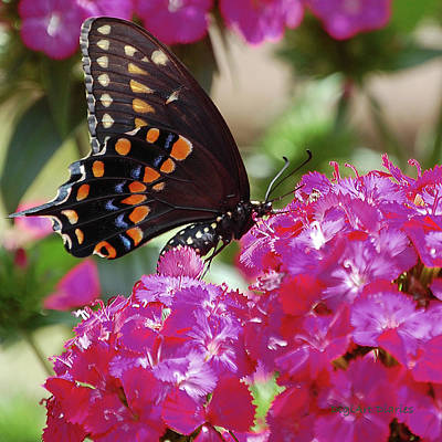 Blue Swallowtail Digital Art - Nectar Of Pink Passion by DigiArt Diaries by Vicky B Fuller