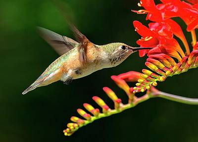 Photograph - Nectar Time by Sheldon Bilsker