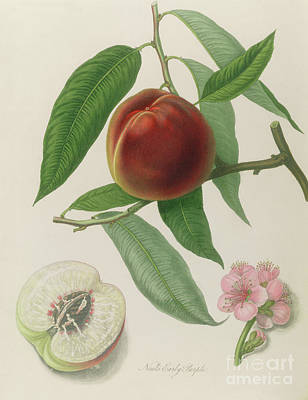 Vine Painting - Nectarine by William Hooker
